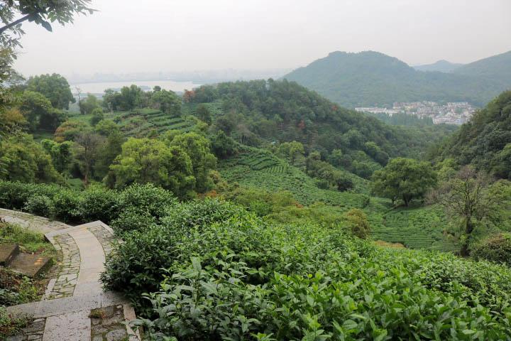 Champs de thé Hangzhou