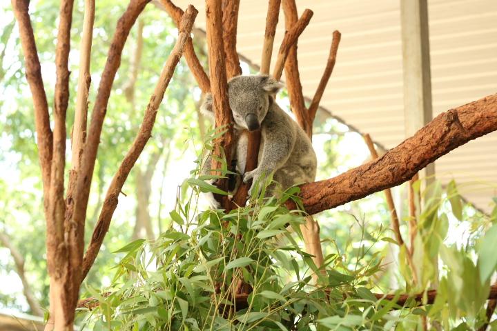 Kangourous-fatigue